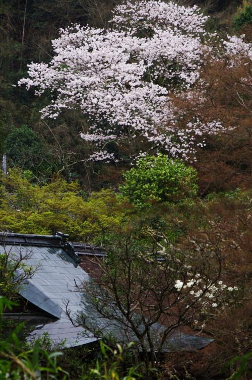 正暦寺 桜