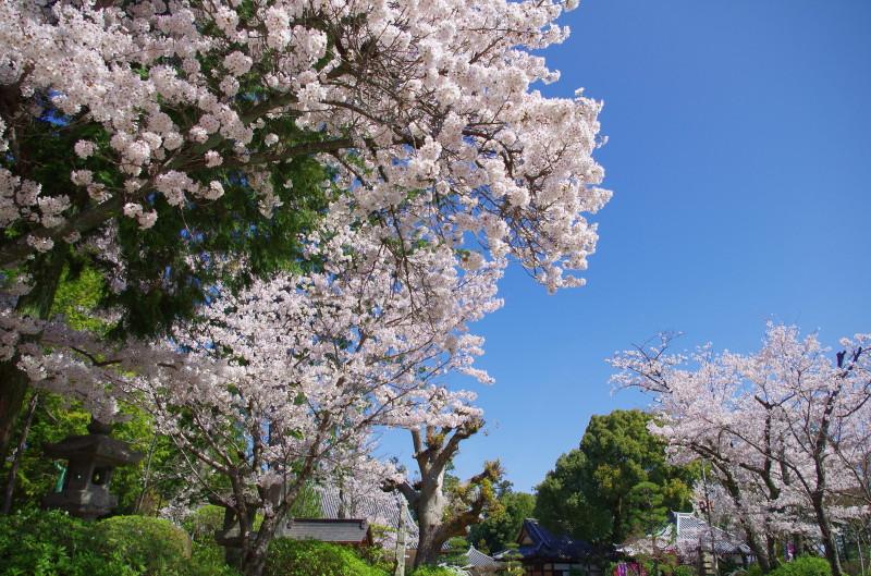 久米寺 桜