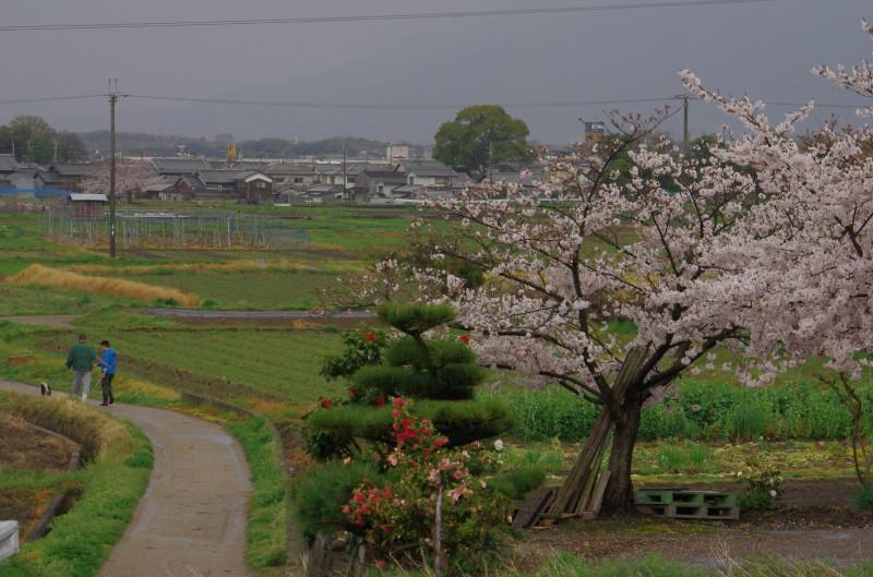 斑鳩 桜1