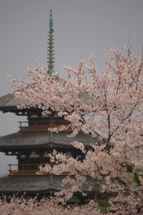 斑鳩 桜 法起寺