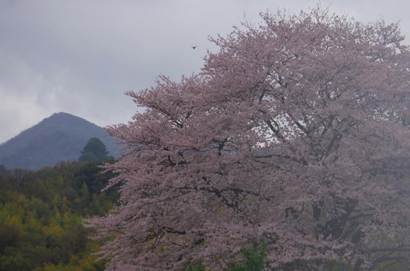 天理 幾坂の桜1