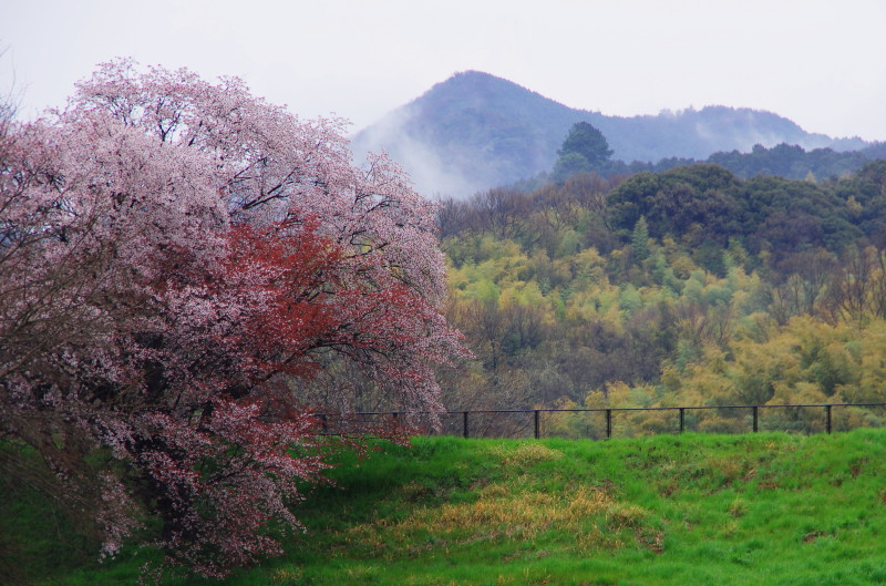 天理 幾坂池山桜
