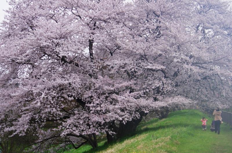 天理 幾坂の桜2