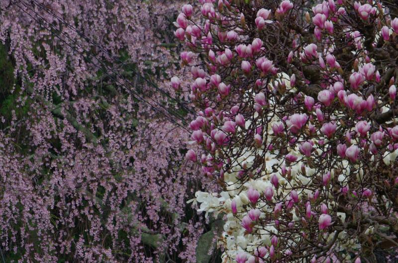 宇陀 桜1