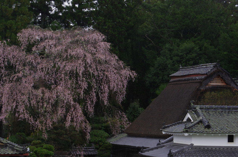 宇陀 桜2