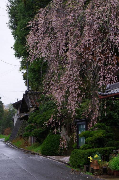 宇陀 桜4