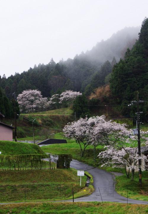 宇陀 桜6
