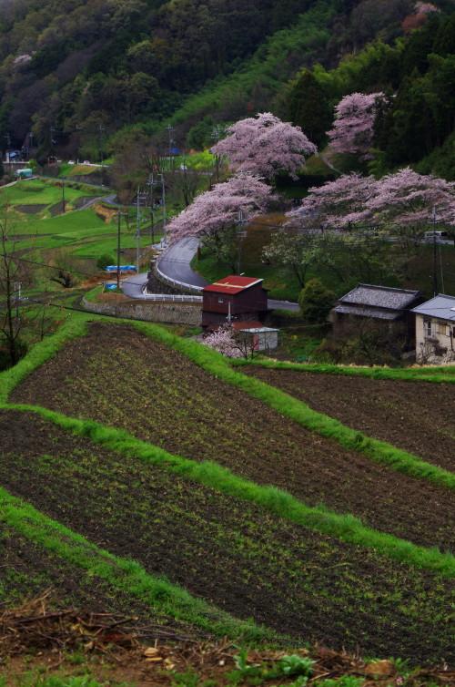 宇陀 桜井 桜