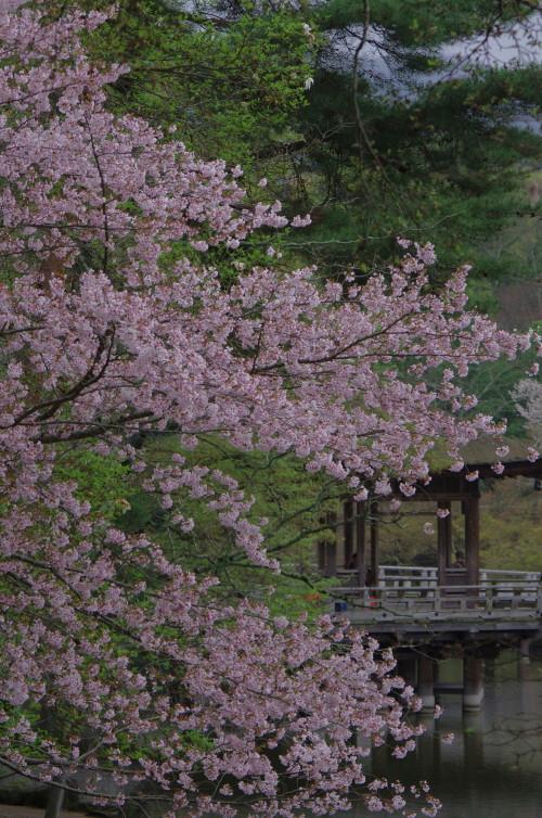奈良公園 九重桜