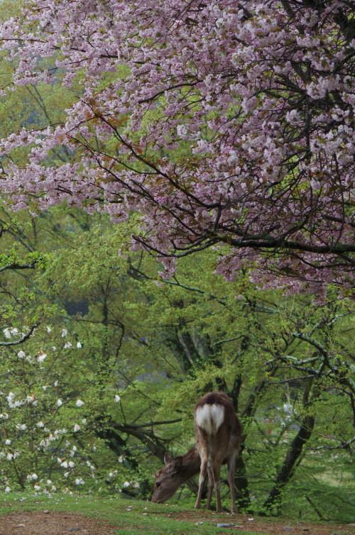 奈良公園 桜1