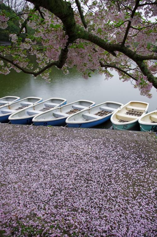 奈良公園 散桜_1