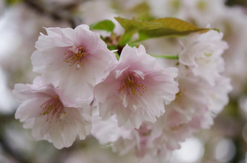 奈良公園 九重桜1