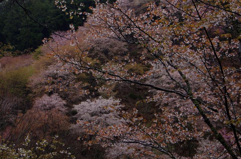 吉野山 下千本から1