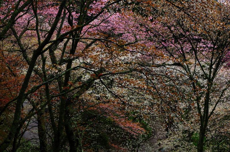 吉野山 中千本 桜色