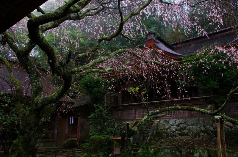 吉野山 水分神社 枝垂れ