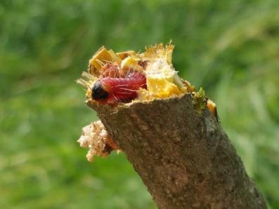 柿の枝を侵食する害虫