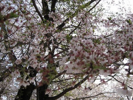 2015春☆津山城・鶴山公園