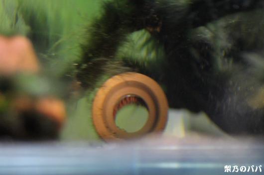 sp.ヴァウペス産卵1