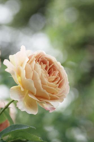 20150517薔薇園1