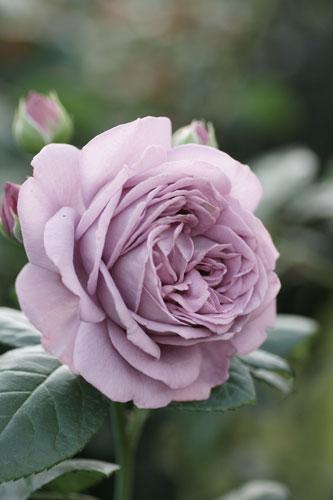 20150517薔薇園2