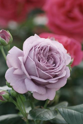 20150517薔薇園3