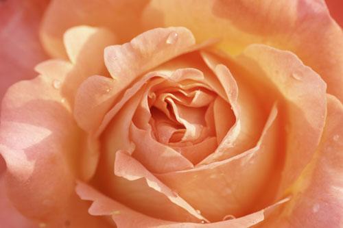20150517薔薇園4