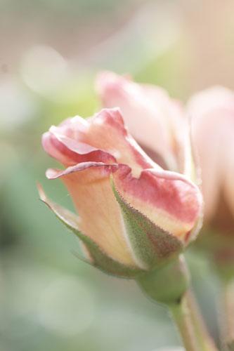 20150517薔薇園6