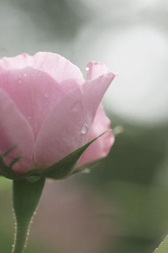 20150517薔薇園8