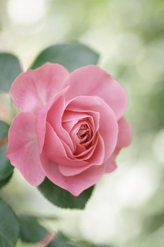 20150517薔薇園11
