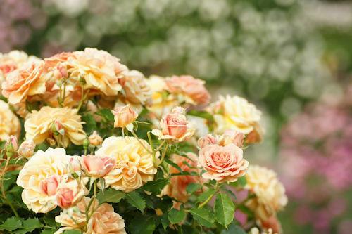 20150517薔薇園12