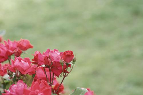 20150517薔薇園15