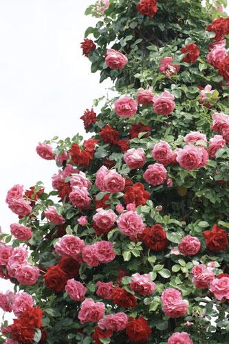 20150517薔薇園16