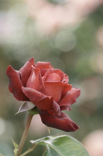 20150517薔薇園17
