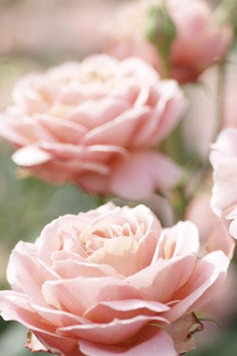 20150517薔薇園19