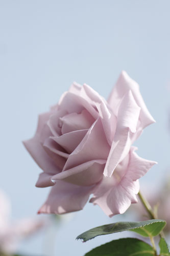 20150517薔薇園20