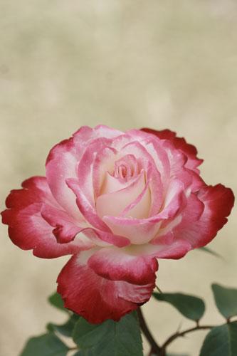 20150517薔薇園21
