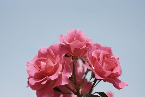 20150517薔薇園22