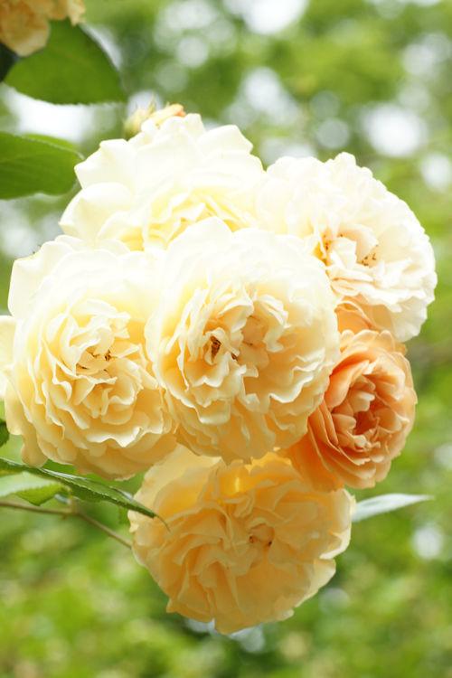 20150517薔薇園27