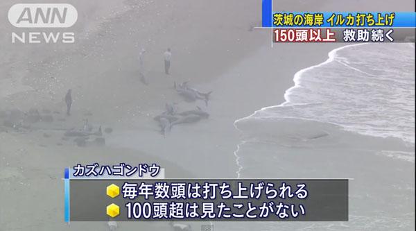 0190_Ibaraki_hokota_iruka_uchiage_201504_04.jpg