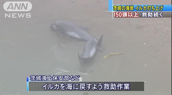 0190_Ibaraki_hokota_iruka_uchiage_201504_05.jpg