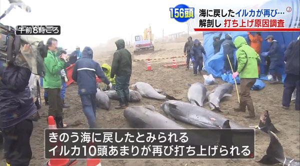0190_Ibaraki_hokota_iruka_uchiage_201504_c_03.jpg