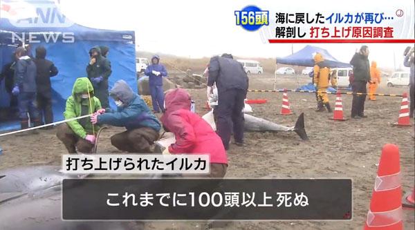 0190_Ibaraki_hokota_iruka_uchiage_201504_c_04.jpg
