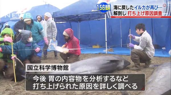 0190_Ibaraki_hokota_iruka_uchiage_201504_c_07.jpg