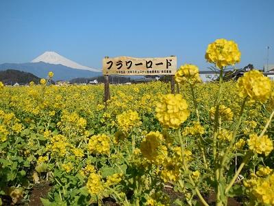 菜の花(3)