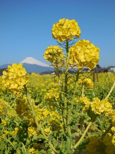 菜の花(6)