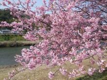 河津桜(7)