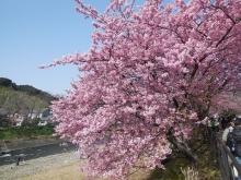 河津桜(9)