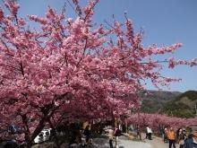 河津桜(10)