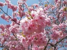 河津桜(11)