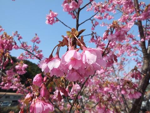 河津桜(12)